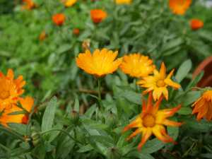 Calendula at Rocklyn VIC Ashram by Kirsten Macdonald Ponderings Magazine Australia