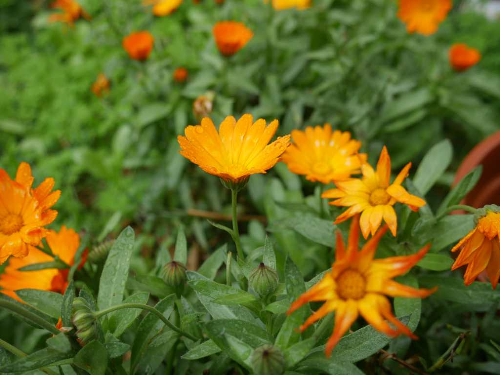 Calendula at Rocklyn VIC Ashram
