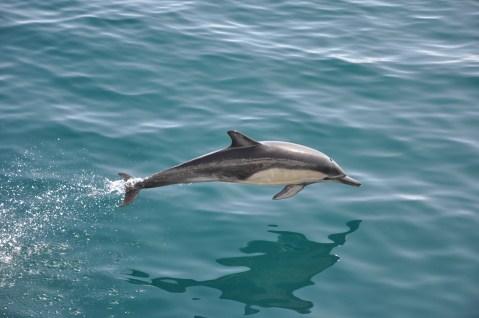 Dolphin, Pacific Ocean, California