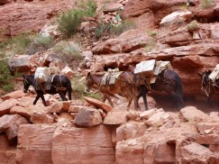 Havasupai Indian Tribe, Havasupai Falls, Havasu Creek, horses, trail