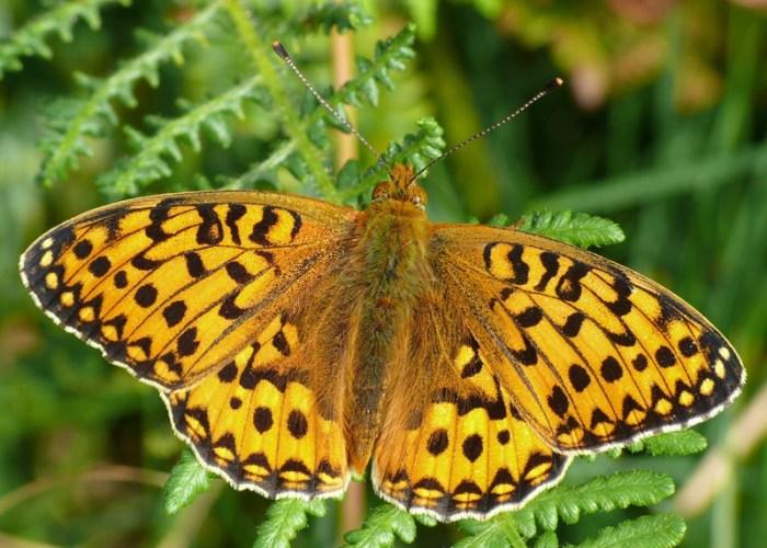 butterflies in Pondhead