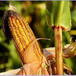 Exclusión del IVA para el arroz, el maíz y el maíz trillado destinados al consumo humano.