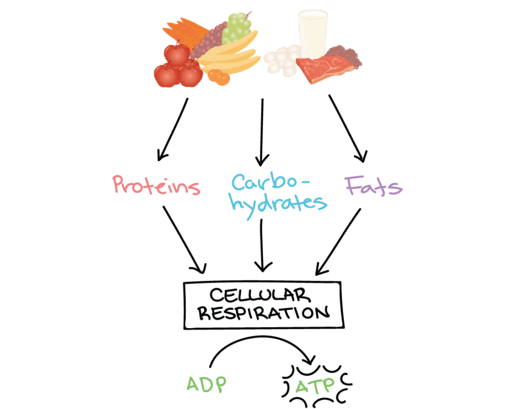 Principles Of Metabolic Physics