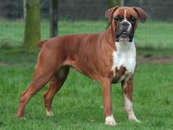 boxer-876