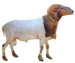 ilustrasi hewan qurban domba jantan