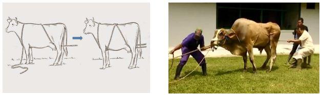 teknik merobohkan hewan metode burley rope