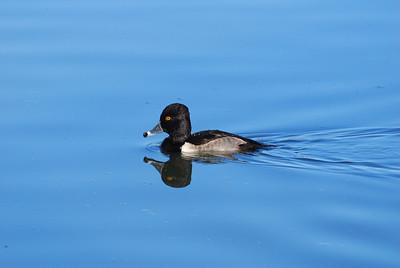 Ring-necked DuckSan Jose Estuary - Los Cabos, Mexico