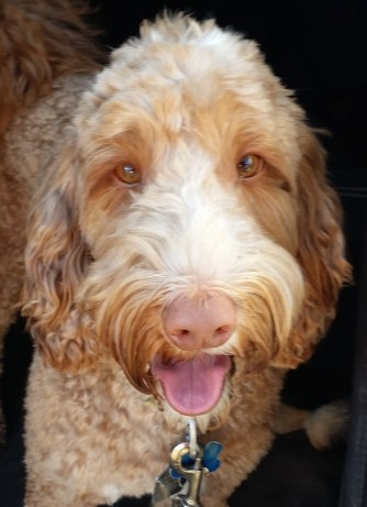 Barley...A lively and loyal Labradoodle