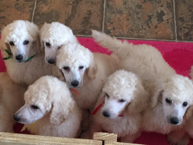 white standard poodle puppies