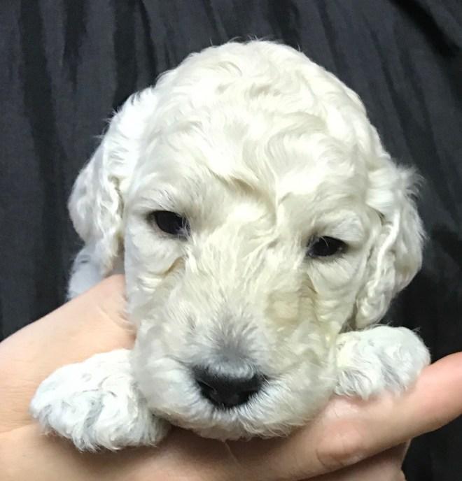 poodle puppy