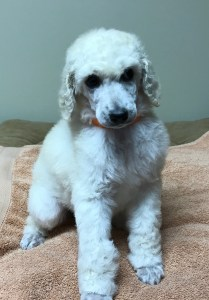 Rosemary - White Standard Poodle