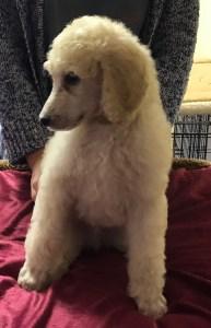 Chia - White Standard Poodle