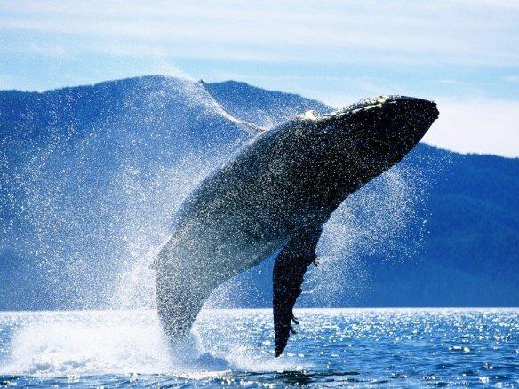 Humpback whale (Megaptera novaeangliae)  breaching, Alaska, USA