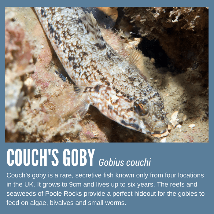 Couch's goby