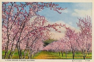 another-prune-orchard-in-California-550x362