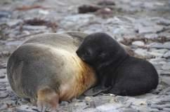 Suckling Fur seal pup