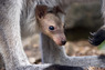 hannah - baby wallaby