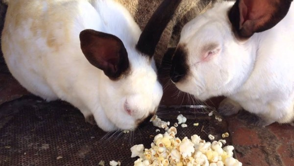 Can bunnies eat popcorn?