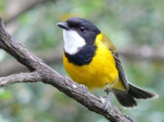 Golden Whistler (photo Paul Vale)