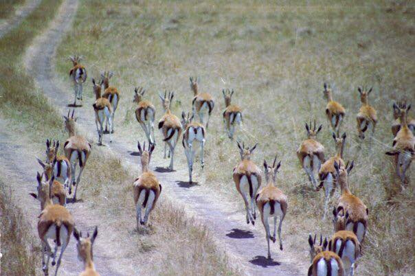 A heard of impala running away in Kenya
