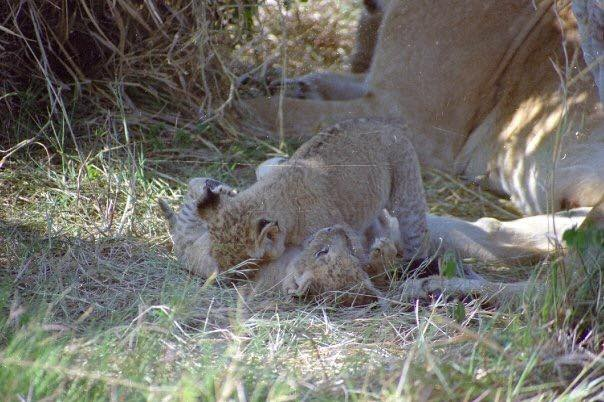 Twin lion cubs playing together in the grass