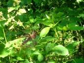Garter snake in the blackberry canes.