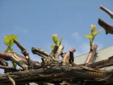 Grape vine in Spring