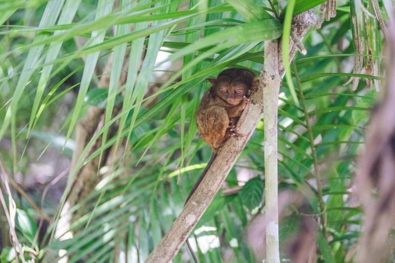 Tarsiery, maleńkie zwierzątka niestety zagrożone wyginięciem