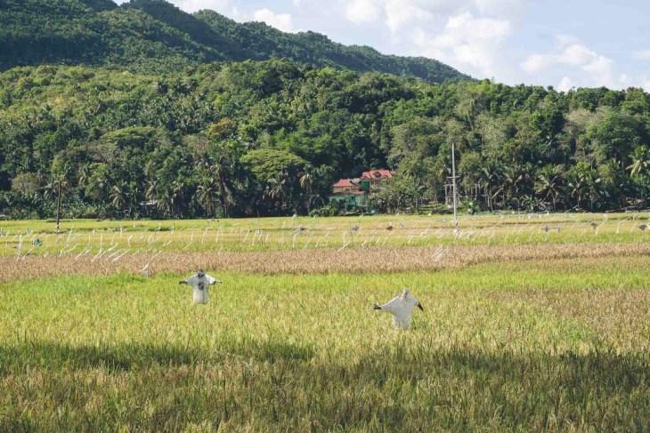 strachy na wróble na Filipinach pilnują oczywiście ryżu