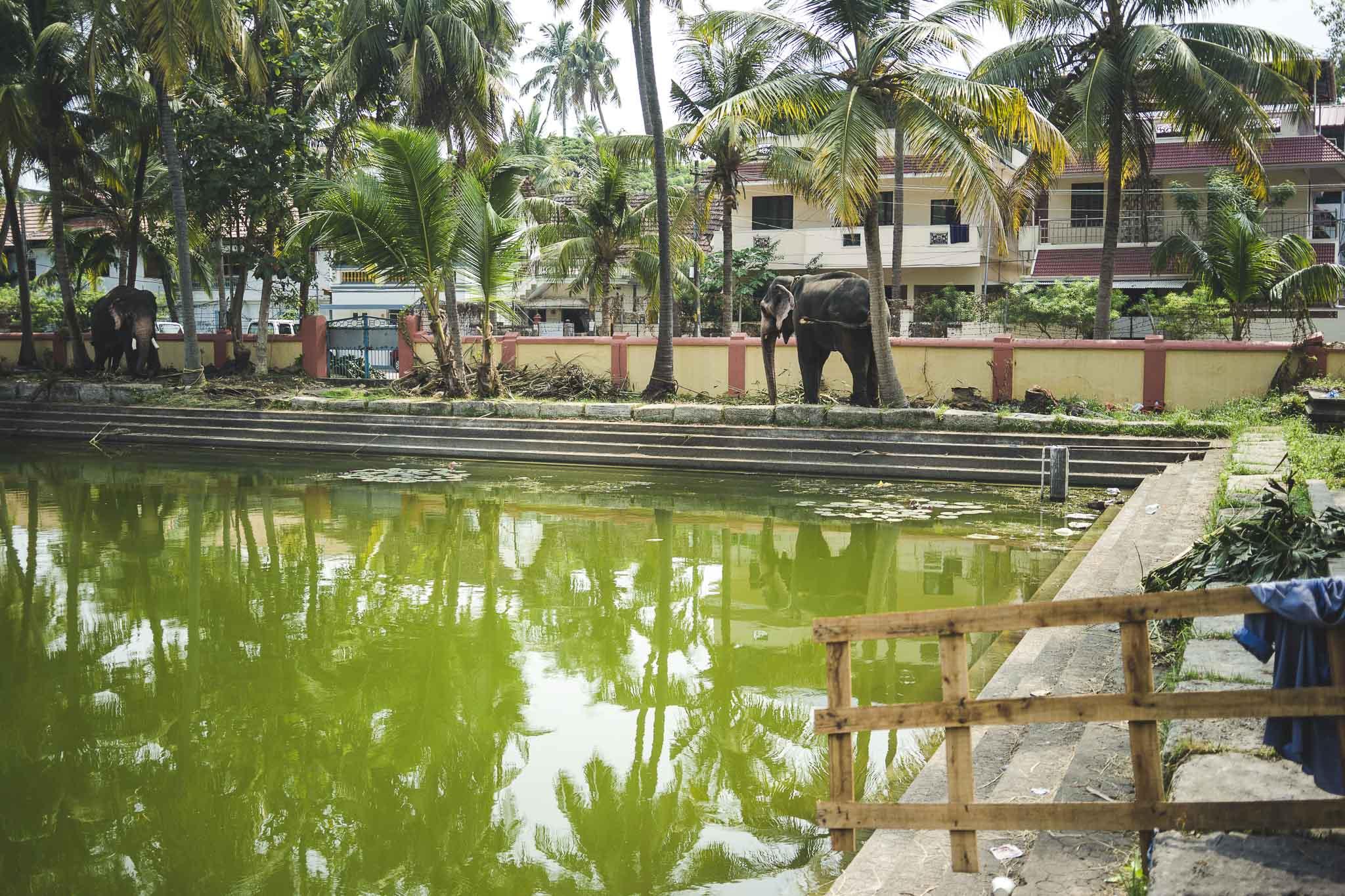 Cochin Thirumala Devaswom - sadzawka, a w tle... słoń!