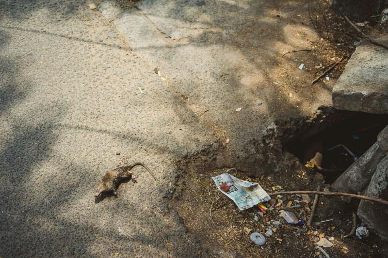 towarzyszami brudu są szczury, nie tak jednak widoczne w porze suchej