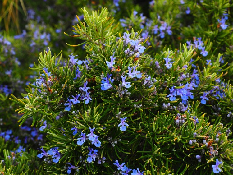Rosemary in bloom_Popsicle Society