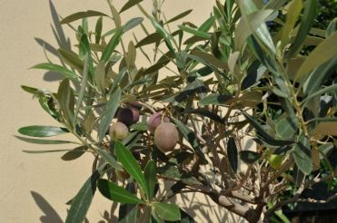 small olive tree with olives_Popsicle Society