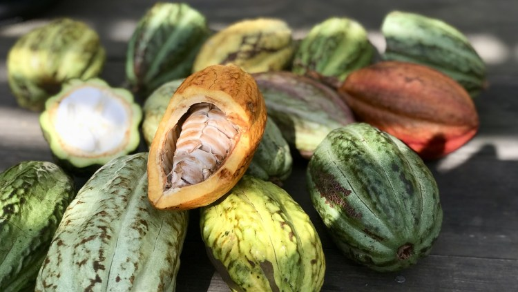 cocoa cultivation cocoa pods_Popsicle Society