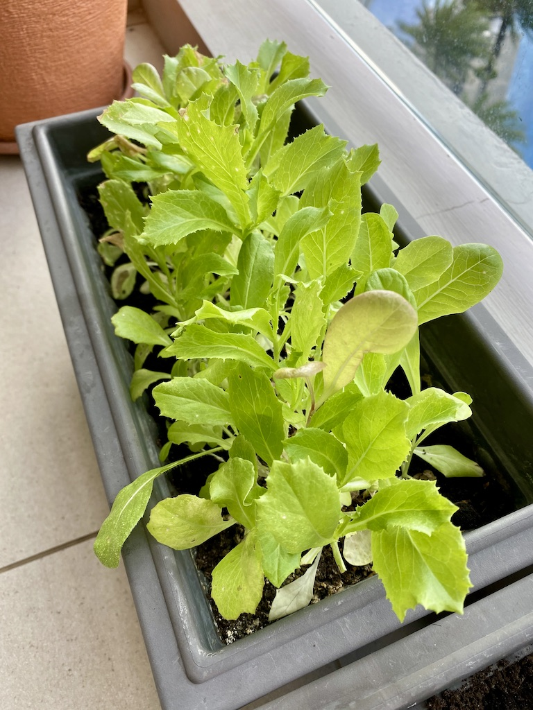 Mixed leaf salad_home growing plants_Popsicle Society