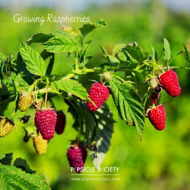 Growing raspberries plant_Popsicle Society