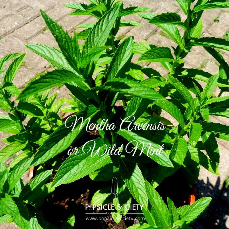 Mentha Arvensis or wild mint_Popsicle Society
