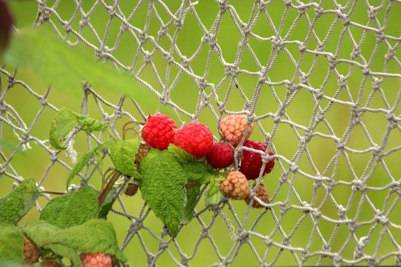 Raspberries plant_Popsicle Society