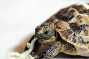 Кормление сухопутной черепахи