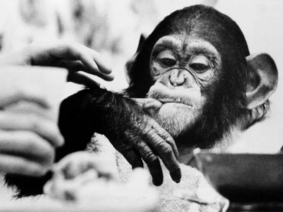 Ним Чимпский – шимпанзе, которого учили языку жестов в 70-е годы в Америке – показывает жест, означающий на этом языке «пить».