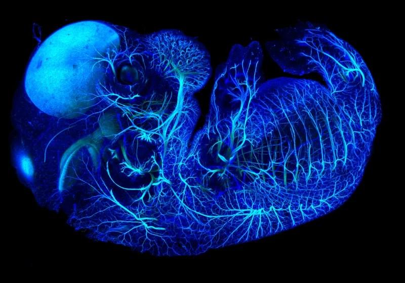 Нервы эмбриона