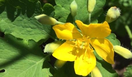 Glistnik jaskółcze ziele - cudowny środek na kurzajki