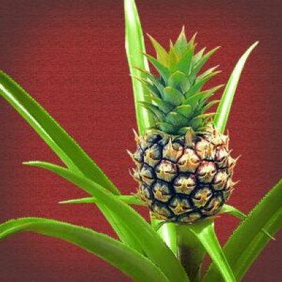 jak posadzić ananasa w doniczce!