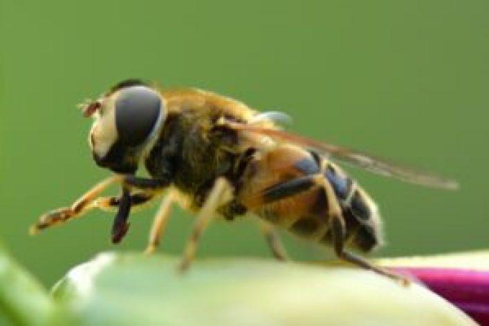 Użądlenie pszczoły