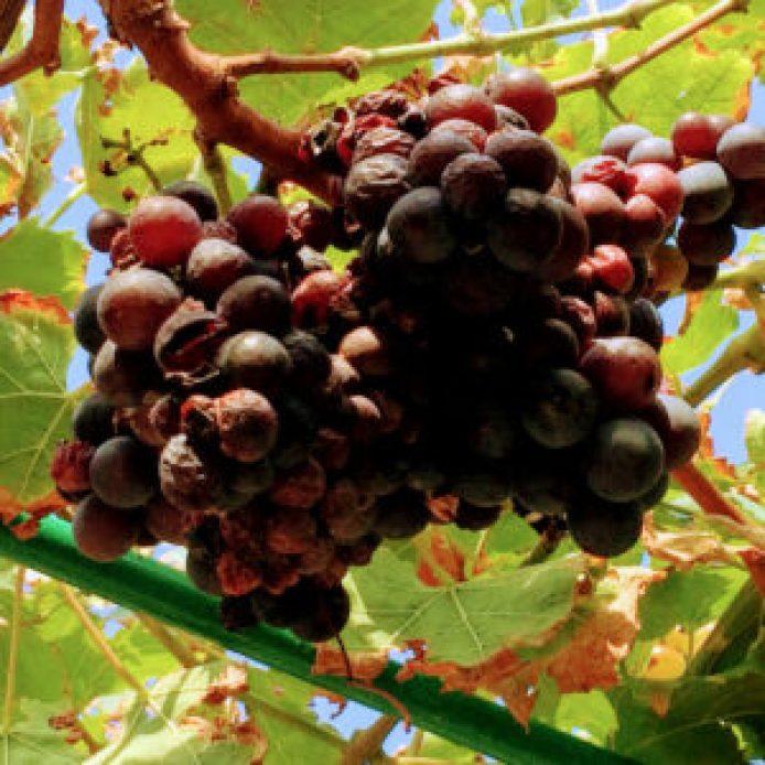 Winogrona - zdrowe i pyszne