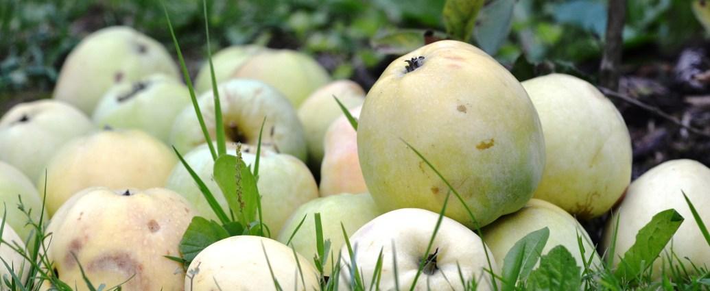 Jabłka antonówki - idealne w kuchni