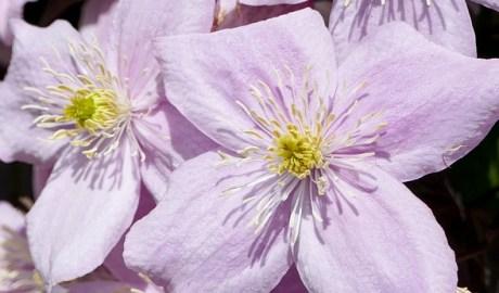 Clematis - nawożenie roślin w ogrodzie