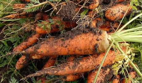 Marchewki z ekologicznej uprawy warzyw