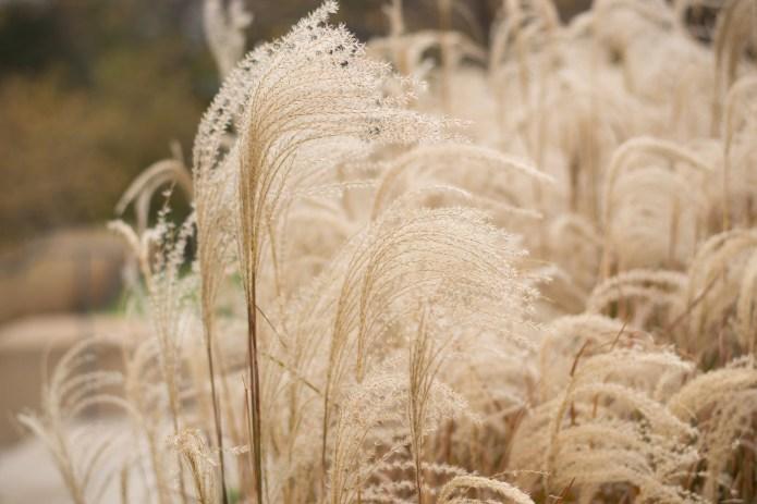 Ozdobna trawa pampasowa