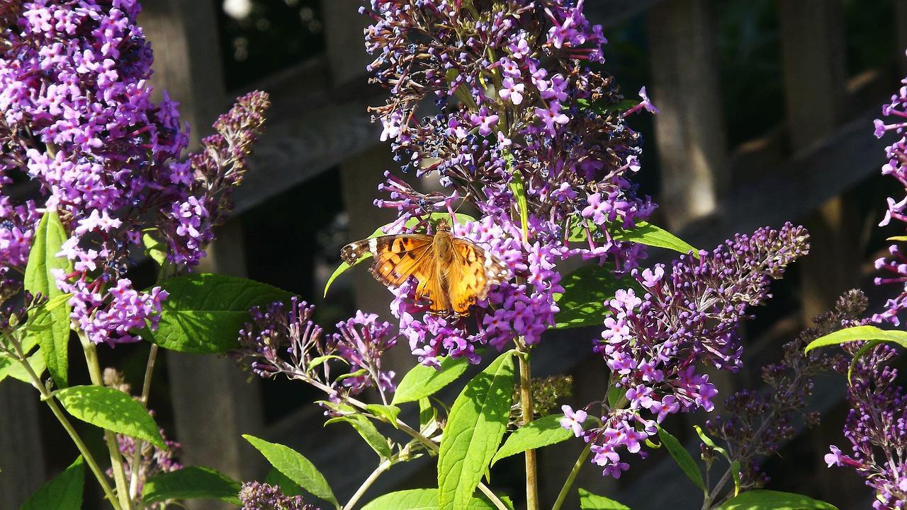 Motyli krzew - budleja w ogrodzie to wabik dla owadów